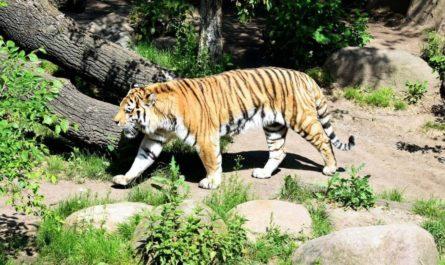 Нейросеть научили идентифицировать амурских тигров по рисунку шкуры