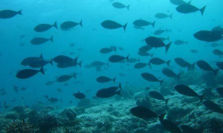 Рыбы-роботы, плавающие косяками