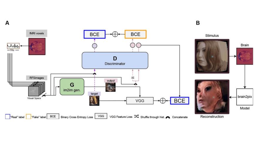 Модель машинного обучения восстановила изображения, увиденные человеком